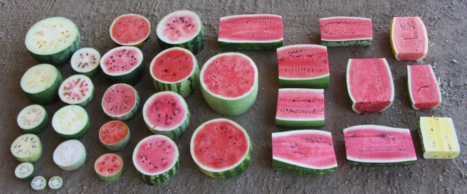 Flesh diversity from undomesticated to domesticated watermelon. These watermelon plants were grown at Syngenta Woodland station in CA.